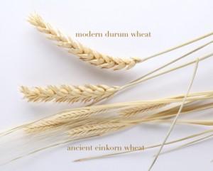 einkornwheat2-300x241